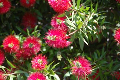 赤いトゲトゲの花
