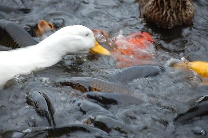 アヒルと鯉の対決