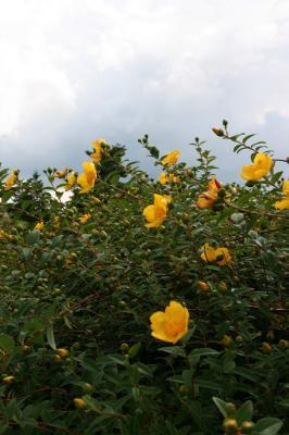 黄色い花の写真3