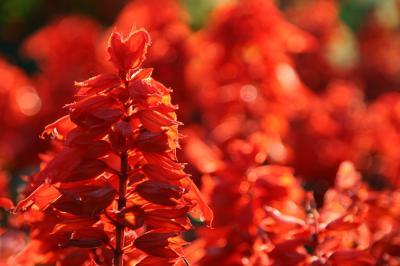 サルビアの花の写真1