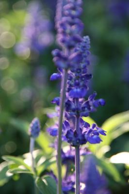 紫の花の写真2