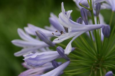 薄紫色の花 写真1