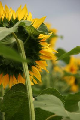 後ろ向き向日葵の写真