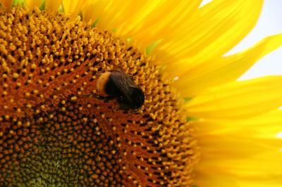蜂と向日葵の写真