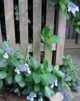 おじさんの額紫陽花