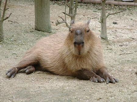 capibara001.jpg