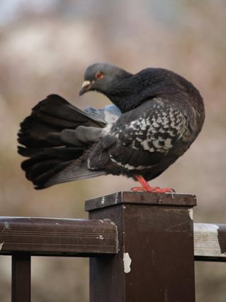 pigeon05