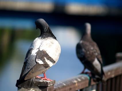 pigeon07