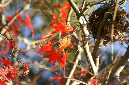 紅葉と鳥の巣。