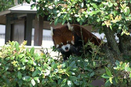 木登りレッサーパンダ。