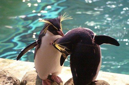 仲良しイワトビペンギン。