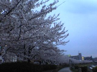 土手沿いの桜 1