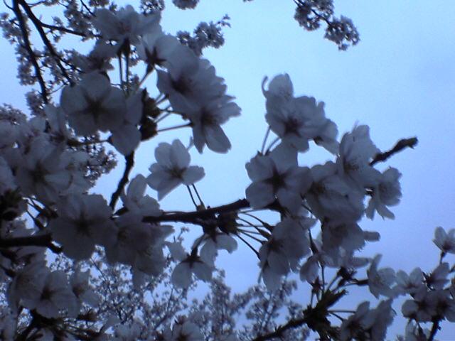 土手沿いの桜 3