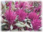 アマランサスの花