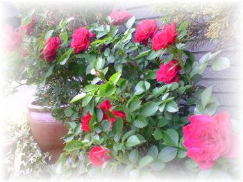 いっぱい咲いたよ~♪