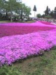 35万株の芝桜。見ごろです。