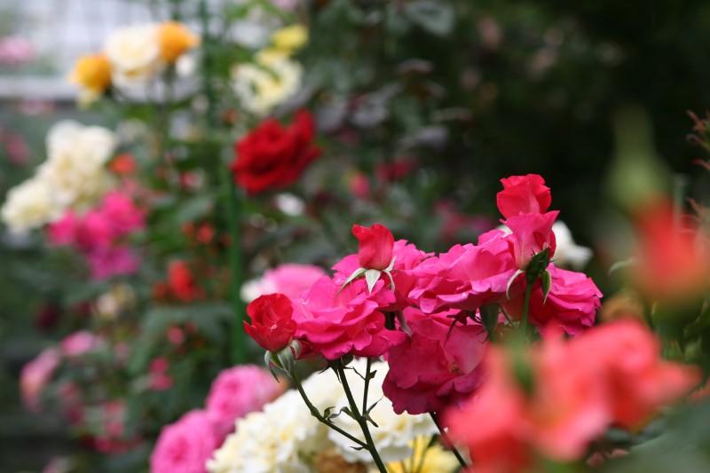 杉山バラ園 エルローザ El Rosa