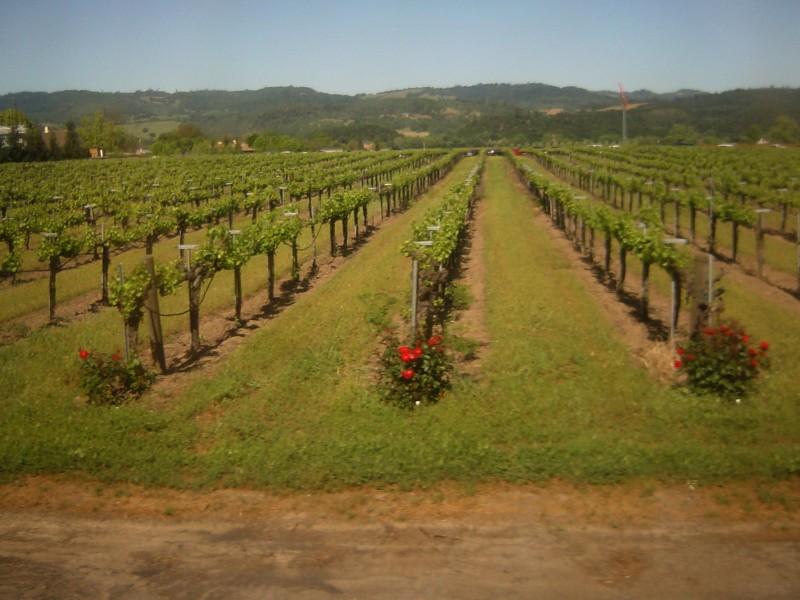 ブドウ畑とバラ、ナパバレー