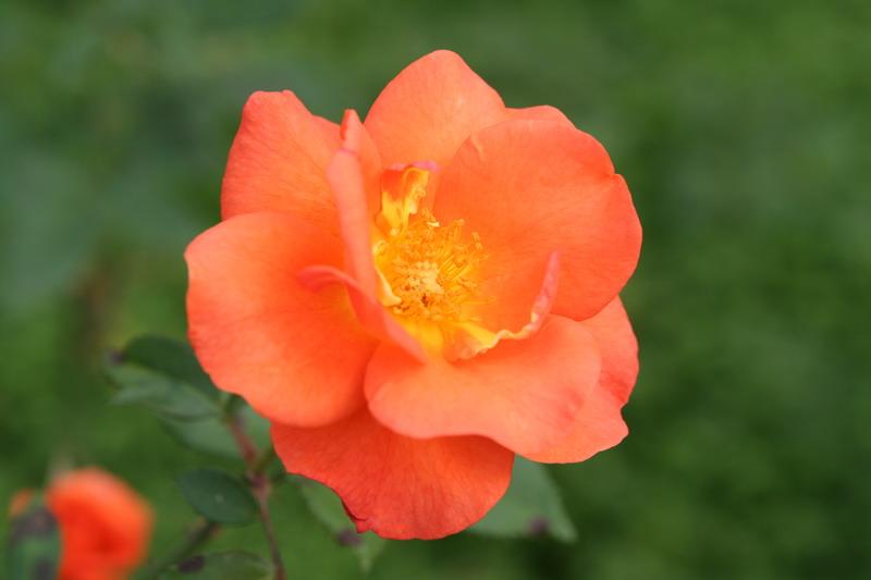 0610生田緑地バラ苑4 プリンセス・ミチコ