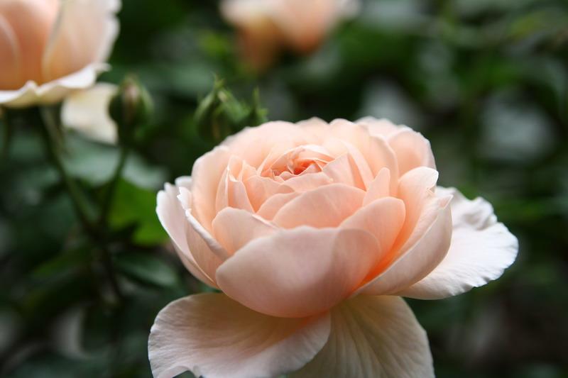 ばら バラ 薔薇 イングリッシュローズ アンブリッジローズ