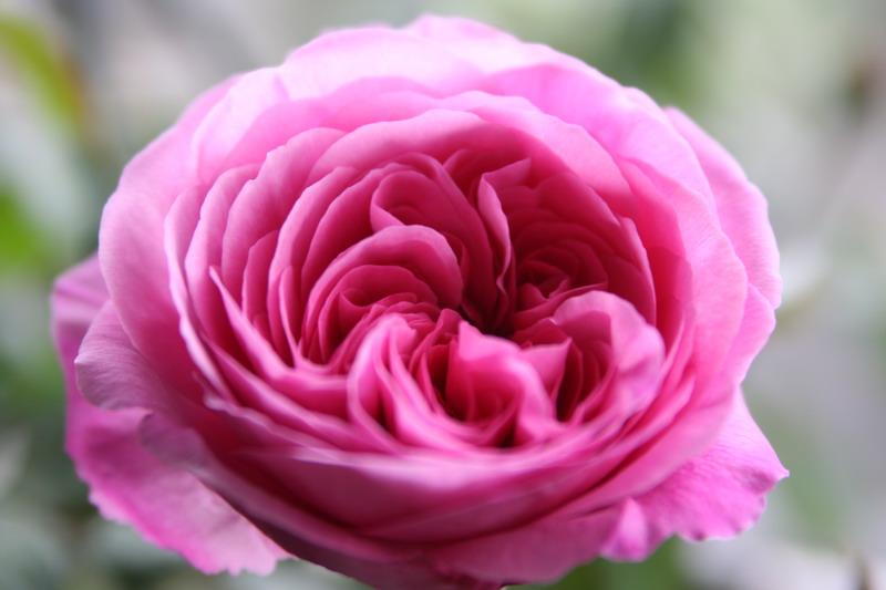 ばら バラ 薔薇 イングリッシュローズ ガートルードジェキル
