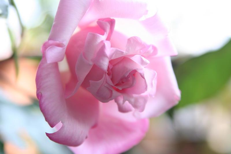 ばら バラ 薔薇 レディラック ダマスク 写真
