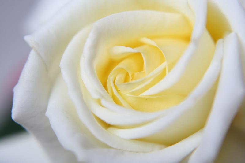 ばら バラ 薔薇 シージャック