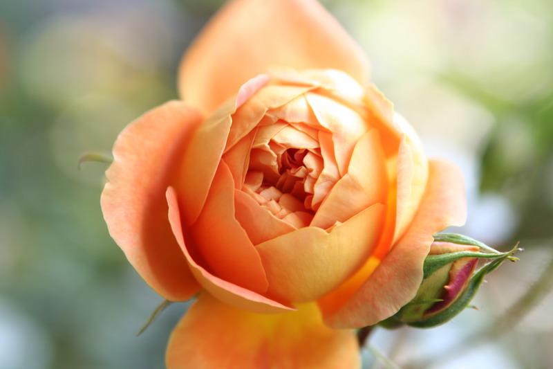 ばら バラ 薔薇 イングリッシュローズ パットオースティン パットオースチン