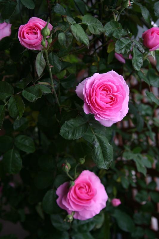 バラ ばら 薔薇 ガートルードジェキル 写真