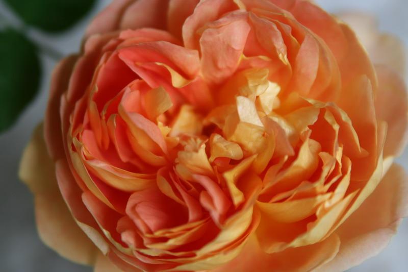 バラ 薔薇 ばら イングリッシュローズ パットオースティン パットオースチン 写真