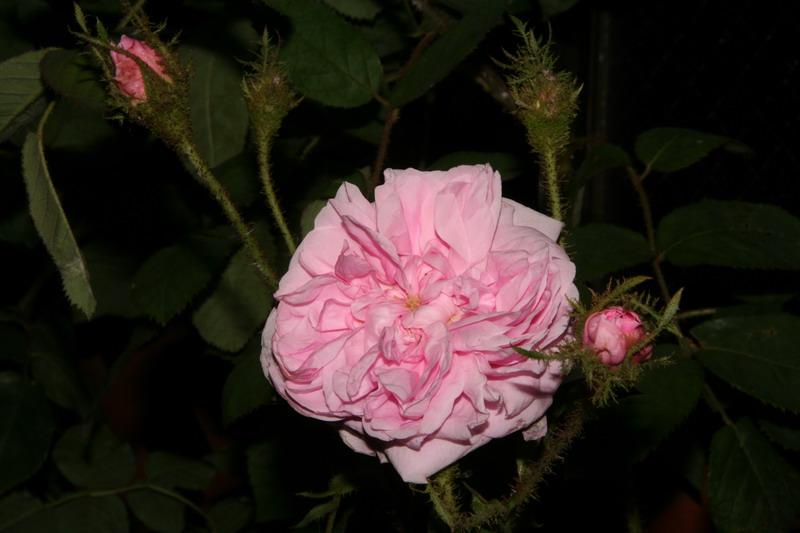 コモンモス オールドローズ ケンティフォーリア ムスコーサ 写真 バラ ばら 薔薇