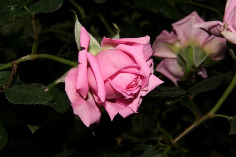 ばら バラ 薔薇 写真 オーバーナイトセンセーション
