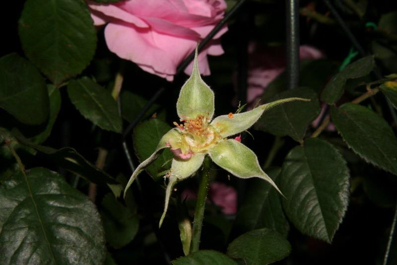 ばら バラ 薔薇 育種 交配