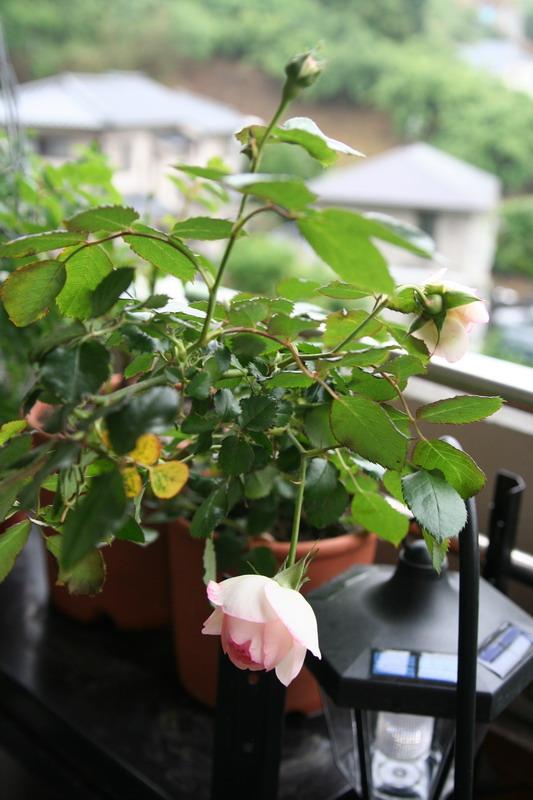ばら バラ 薔薇 フランス メイアン 殿堂 ピエール ド ロンサール