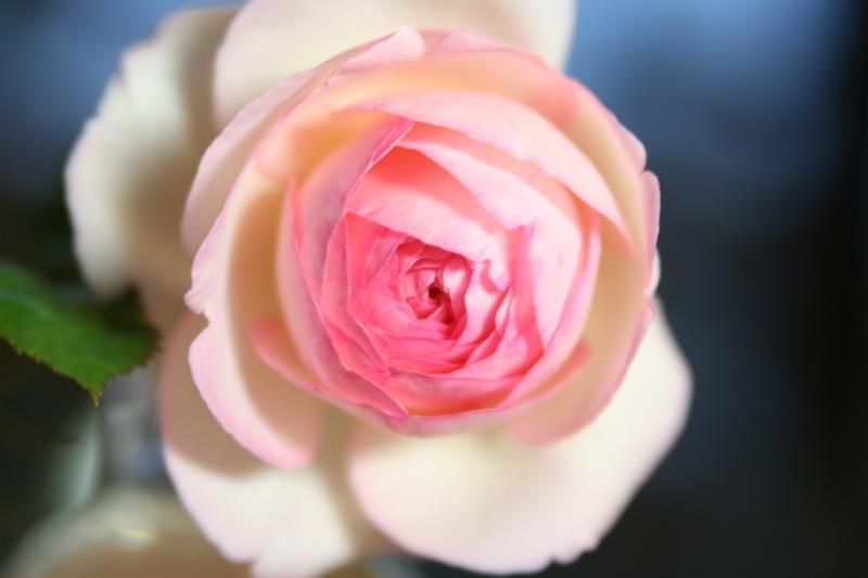 ばら バラ 薔薇 フランス メイアン 殿堂 ピエール ド ロンサール 写真