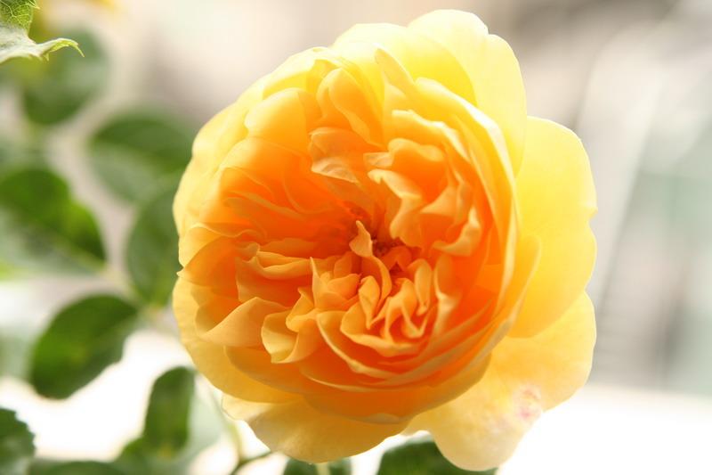 ばら バラ 薔薇 イングリッシュローズ グラハムトーマス