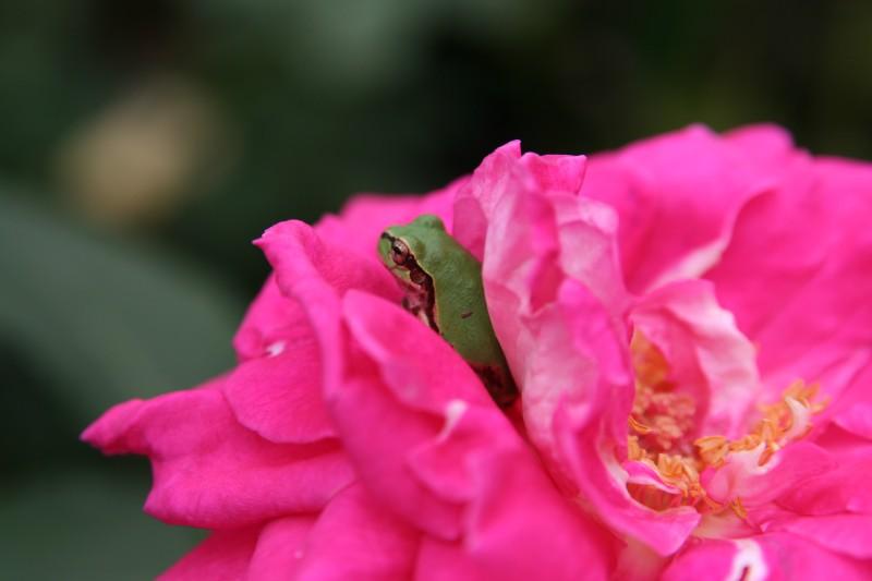 アオガエル, あおがえる, 青蛙