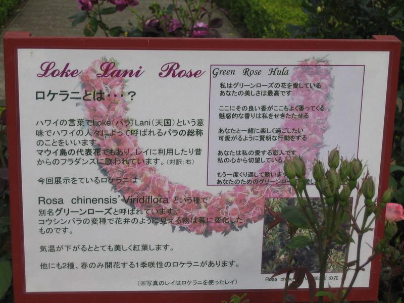 横浜プリンス1  ロケラニ ハワイの薔薇 バラ ばら