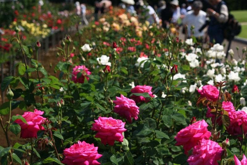20060521神代植物園バラフェスタ3