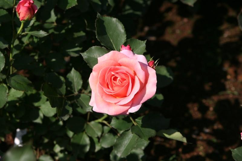 20060521神代植物園バラフェスタ 新品種0511
