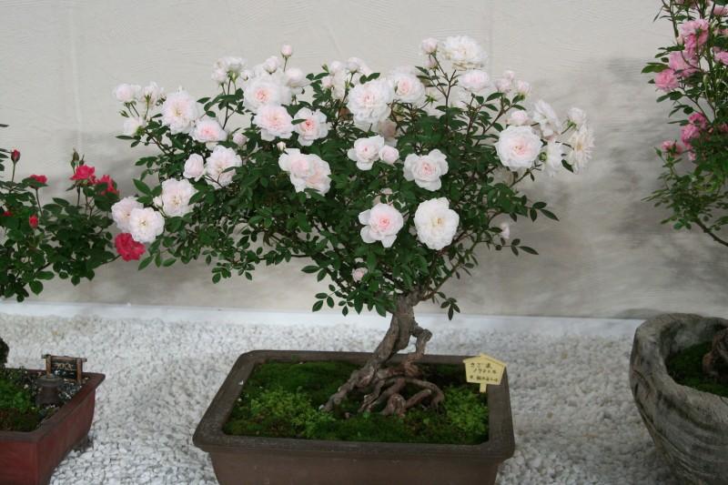 20060521国際バラとガーデニングショウ8