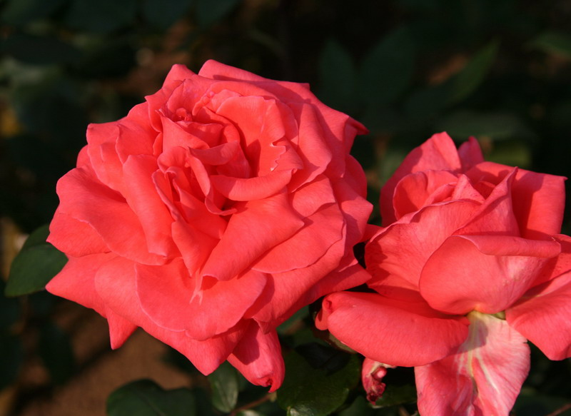 ハワイ ばら バラ 薔薇 ハワイのバラ