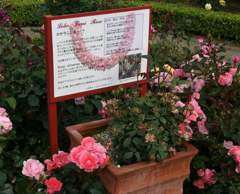 横浜プリンス6 ロケラニ ハワイの薔薇 バラ ばら