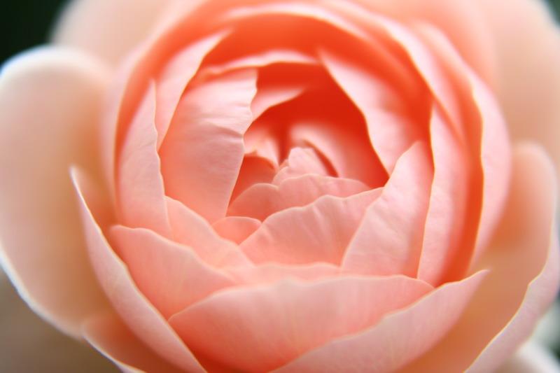 20060610アンブリッジローズ2番花