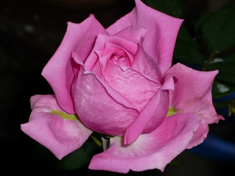 ばら バラ 薔薇 オーバーナイトセンセーション