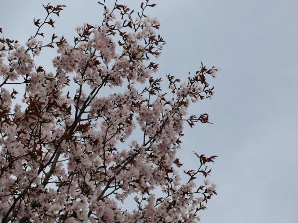 ほんのり桜色。。。。