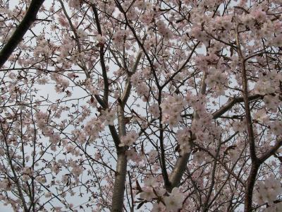 桜だぁ~~~。。。