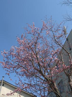 桜~~~~~♪