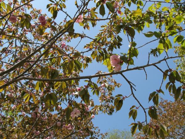 まだまだ桜~