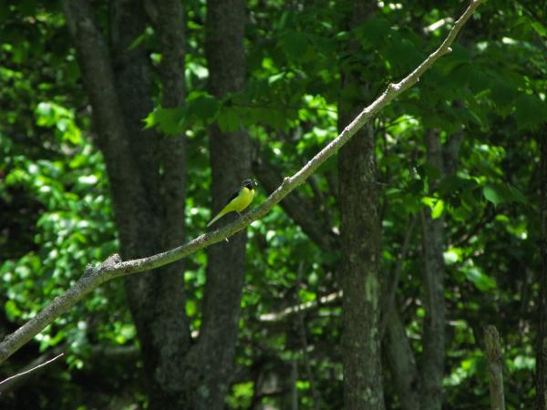 緑に映える黄色の鳥さん~